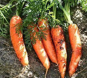 Сорта моркови для выращивания в средней полосе: лучшие в россии виды для зимнего хранения, фото и отзывы о посадке, чем отличается морковка