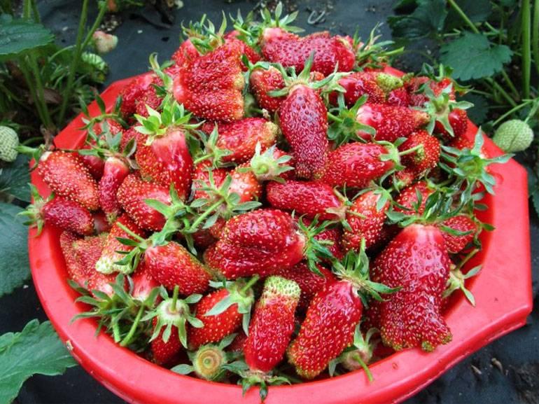 Земклуника купчиха: описание сорта, выращивание и уход