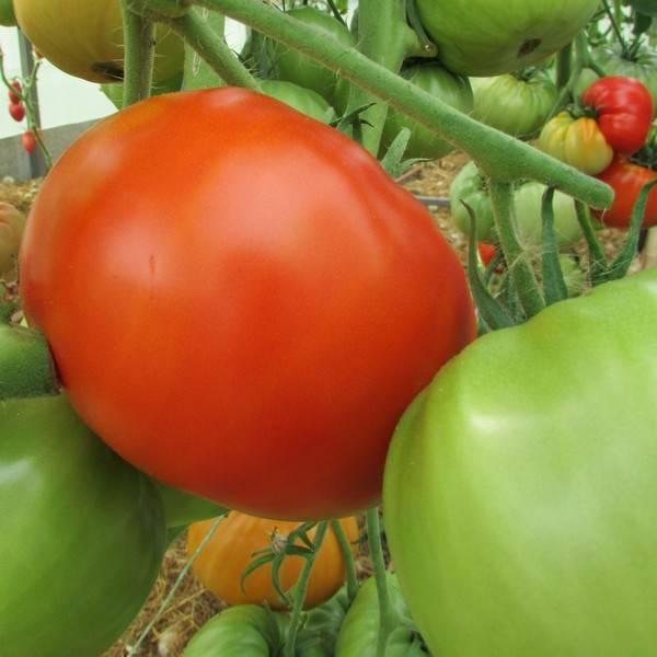 Сорт томат «уральский гигант»: высокая урожайность у каждого на грядке