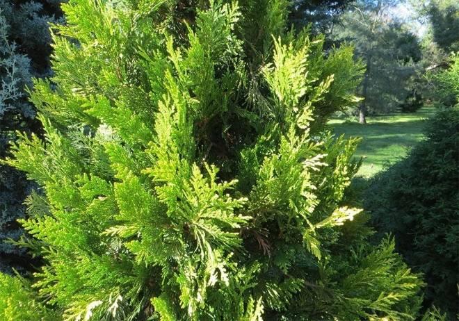 Как посадить тую осенью и подготовить её к зимовке. особенности осенней посадки туи: фото, советы и хитрости