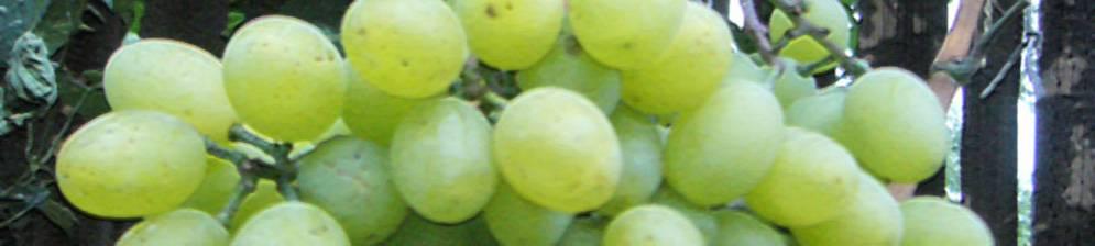 Виноград новый подарок запорожью: описание, фото и отзывы