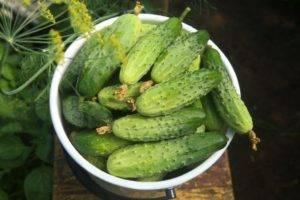 Огурец хрустик f1: отзывы, фотографии и описание сорта, посадка, выращивание и уход, преимущества