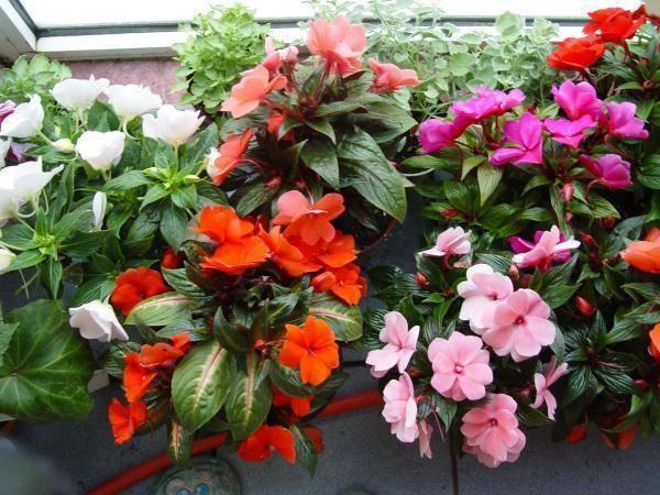 Топ-11 неприхотливые цветущие комнатные растения + 17 фото.