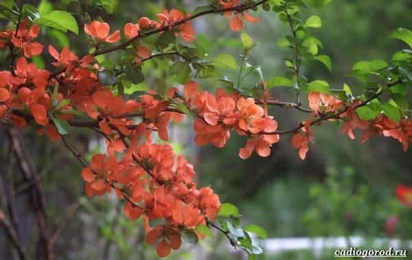Айва японская (хеномелес) выращивание, уход, удобрения и подкормка, сорта, посадка, размножение и болезни + фото