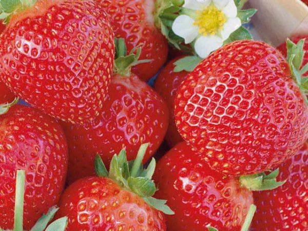 Клубника эльсанта: описание сорта, отзывы садоводов, фото