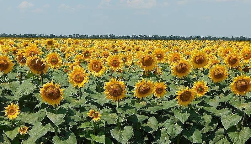 Цветок подсолнечник: характеристика и фото, где посадить и как вырастить, применение свойств культуры