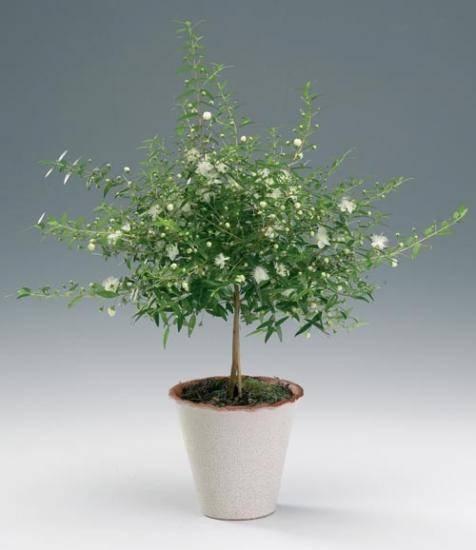 Мирт: уход за цветком в домашних условиях, фото миртового дерева, особенности ухода за комнатным растением