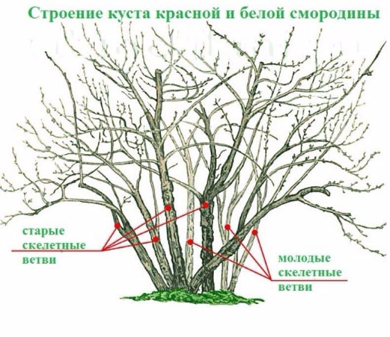 Обрезка и формирование кустов красной смородины