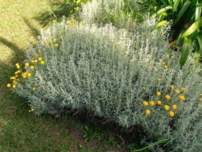 Сантолина — «сложноцвет из средиземноморья»: посадка, выращивание и уход