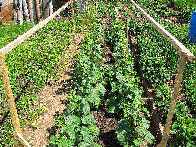Огурцы весной: подготовка почвы в теплице, предпосадочная обработка семян, уход за рассадой, посадка в парник, открытый грунт, правила агротехники