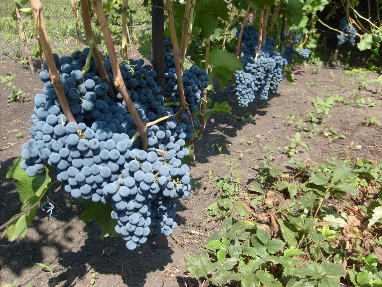 Посадка винограда в сибири для начинающих (с фото и видео)