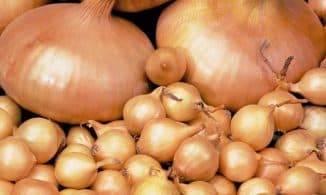 Выращивание озимого лука: выбор сорта, посадка, уход