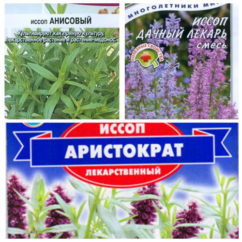 Иссоп лекарственный – особенности растения, посадка и уход
