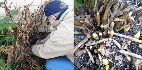 Обрезка пионов зимой, весной и осенью