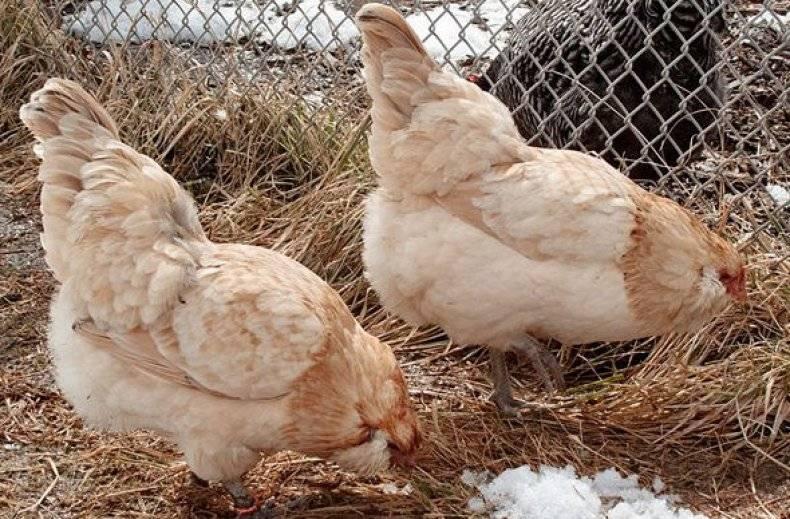 Амераукана порода кур: описание, фото и отзывы фермеров