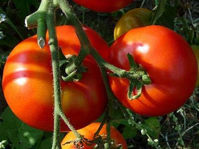 Томат лабрадор: отзывы, фото, урожайность, описание и характеристика