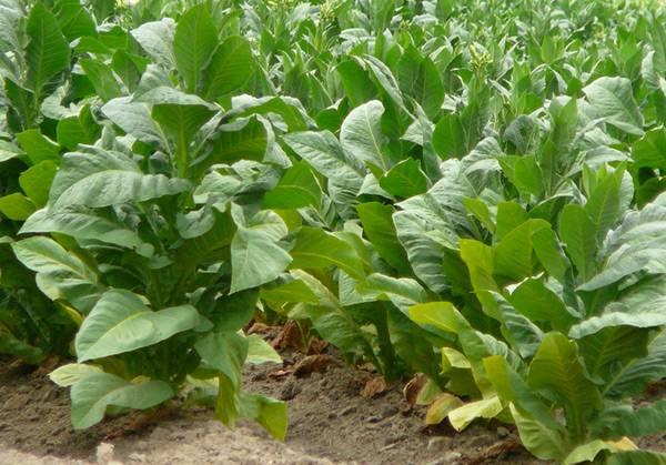 Выращивание курительного табака