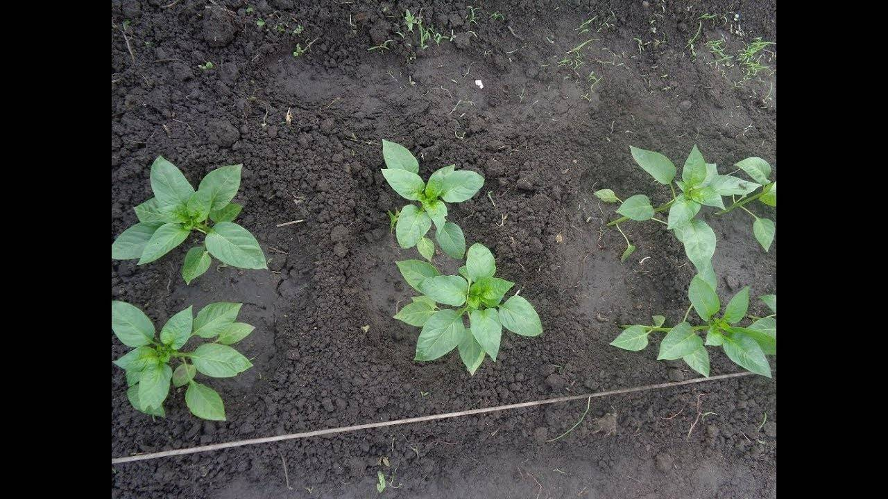 Посадка перца в теплицу из поликарбоната: секреты агрономов