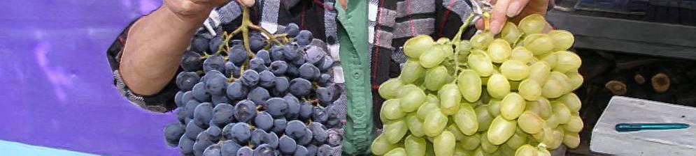 Виноград восторг: характеристики, особенности выращивания и способы посадки морозостойких сортов (95 фото)
