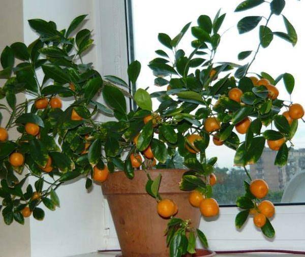 Как вырастить мандарин в домашних условиях: уход, фото, видео