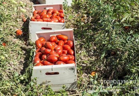 Выращивание, характеристика и описание томата перцевидный