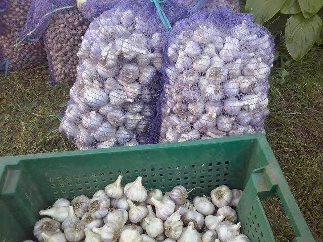 Сорт чеснока любаша: описание, урожайность, выращивание и хранение