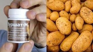 Надо ли обрывать цветки у картофеля, чтобы повысить урожайность