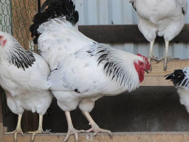 Первомайская порода кур – описание, содержание фото и видео