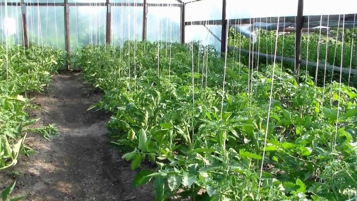 Как подвязывать помидоры в теплице для хорошего урожая