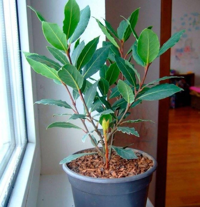 Лавр домашний уход за растением, болезни лавра, описание, выращивание