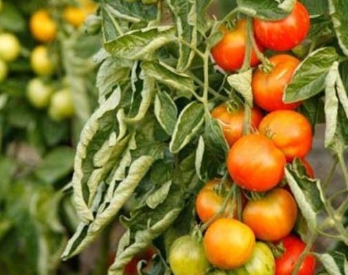 Почему скручиваются листья помидор в теплице: причины, лечение, профилактика