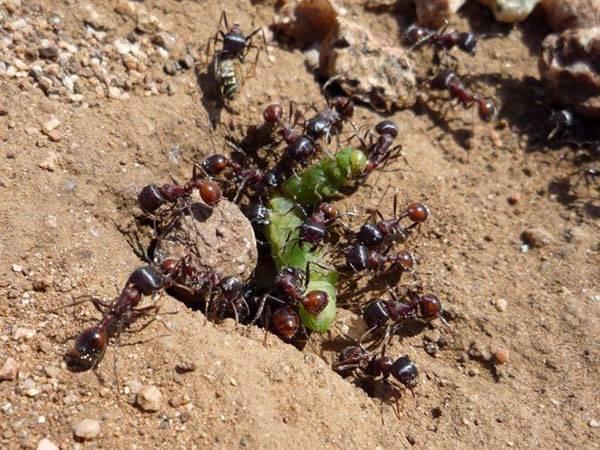 Как бороться с муравьями в теплице народными средствами