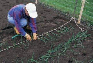 Рассада лука-порея — от посева семян до высадки в грунт. фото — ботаничка.ru