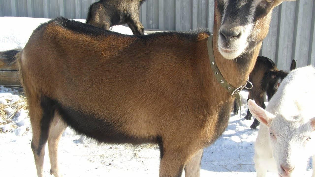 Болезни у коз: причины неправильного ухода и отсутствие профилактических мер