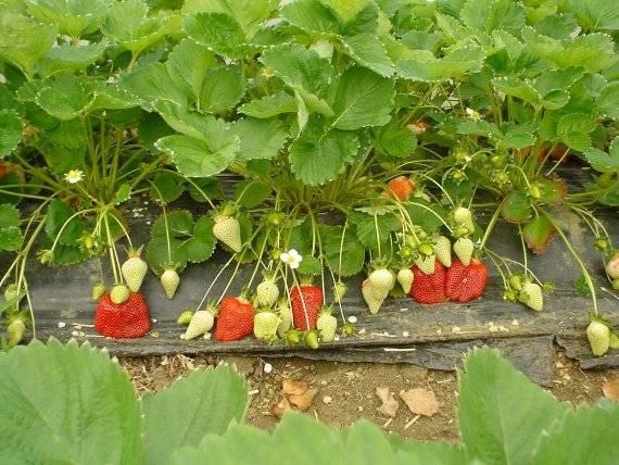 Клубника азия: описание итальянского сорта, отзывы садоводов и правила выращивания и ухода за ягодой