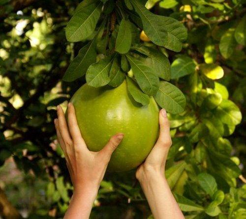 Как нужно выращивать помело в домашних условиях - фрукты | описание, советы, отзывы, фото и видео