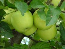 Описание сорта яблони джеромини: фото яблок, важные характеристики, урожайность с дерева
