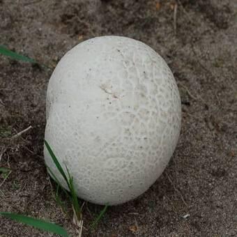 Дождевик (род грибов) — википедия