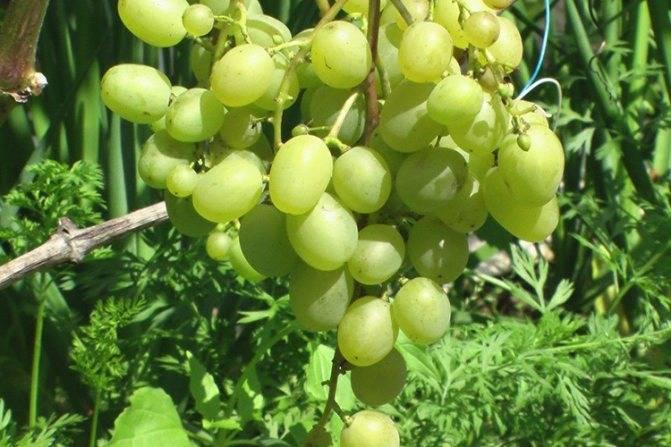 Виноград супер-экстра