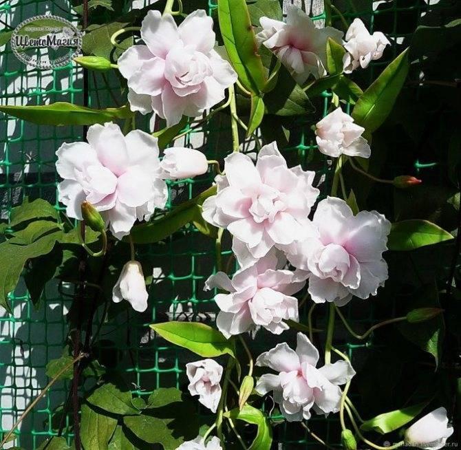 Калистегия флоре плена: выращивание и применение. калистегия махровая: посадка, уход и выращивание