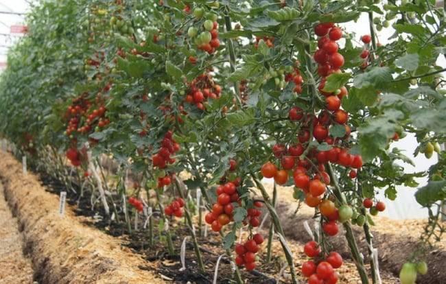 Как подвязывать помидоры: способы для теплицы из поликарбоната и грядки в открытом грунте