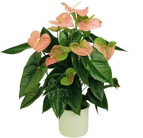 Антуриум перестал цвести, выпускает только листья: причины, как заставить зацвести