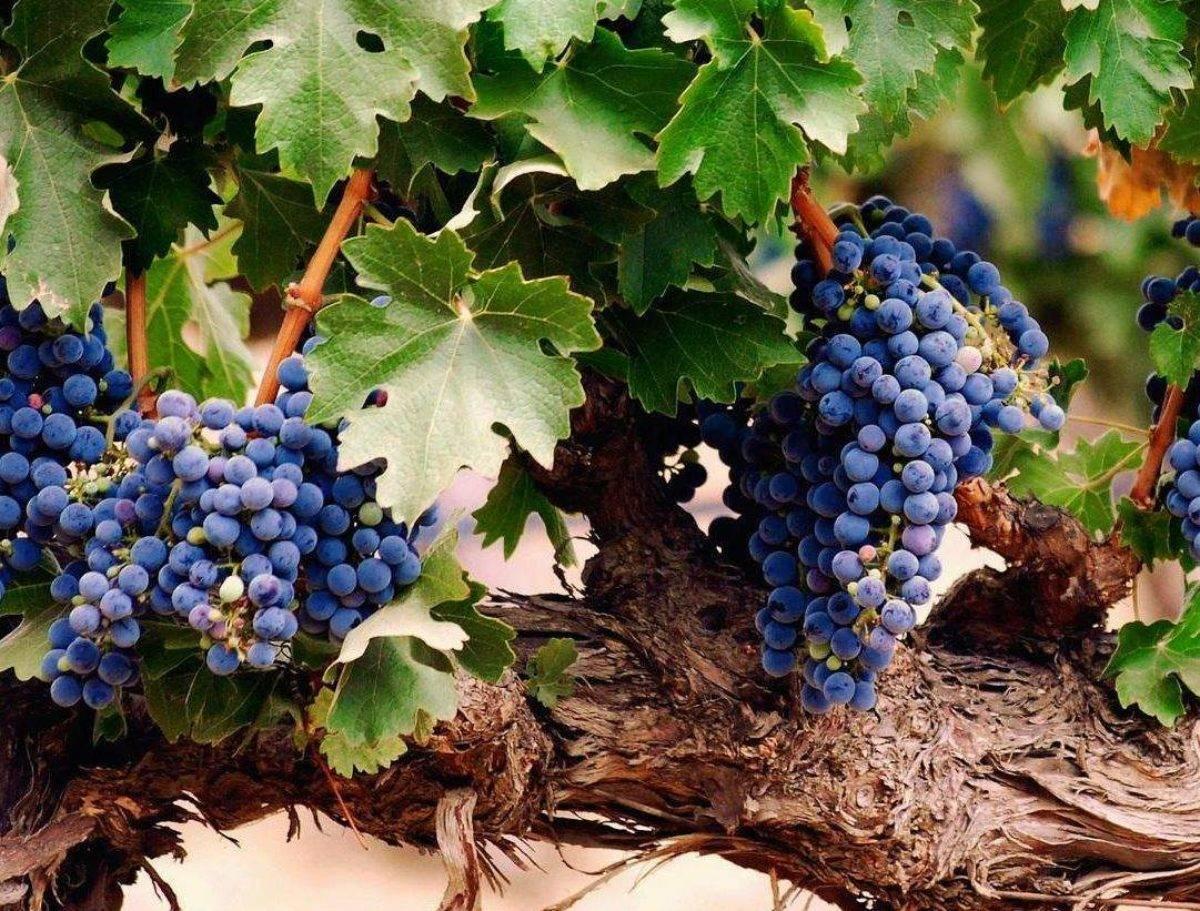 Опаснейшие болезни винограда, причины их появления и методы борьбы с ними