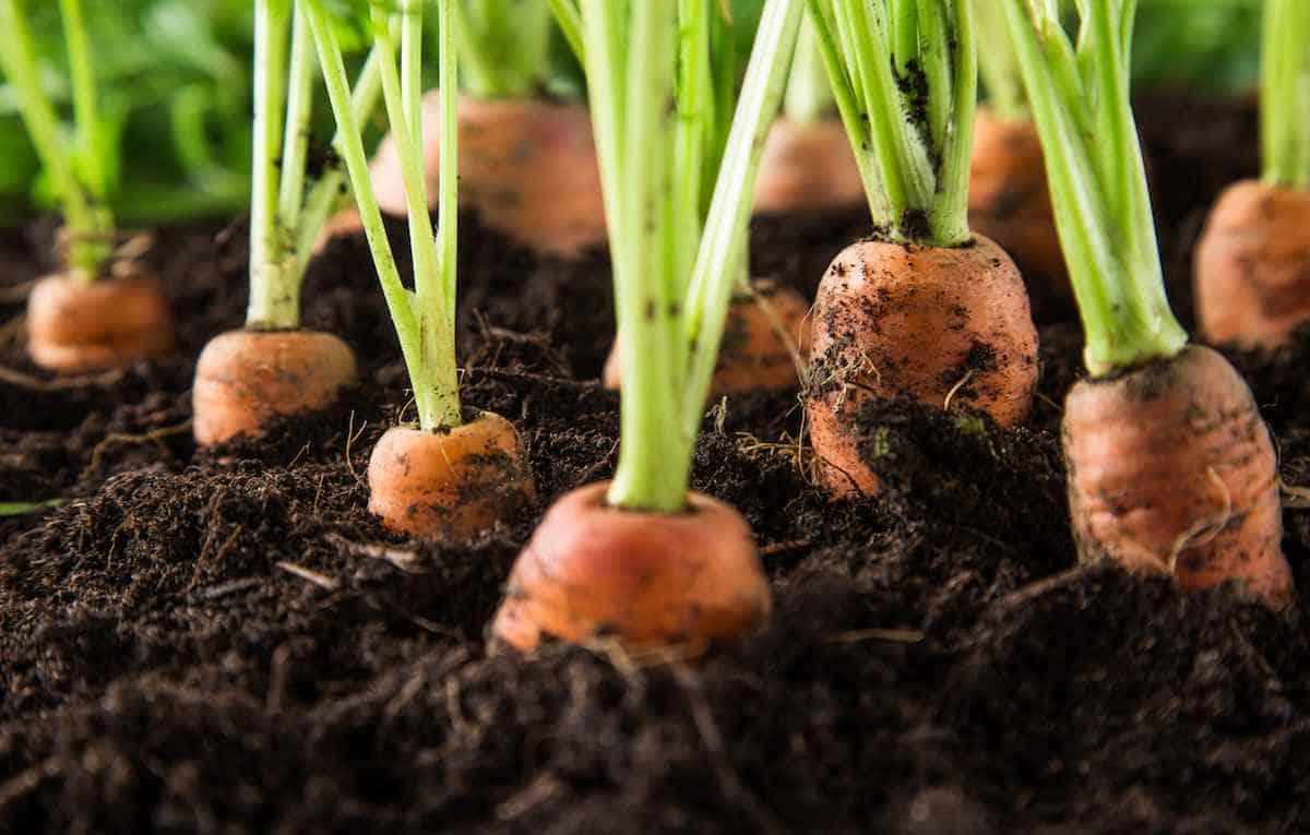 Как прореживать морковь на грядке правильно: инструкция + видео