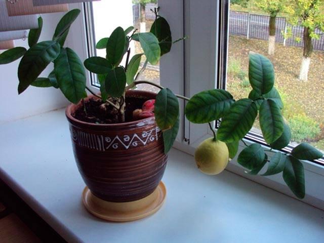 Методы размножения лимона черенками