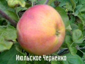 Зимний сорт из яблоневого календаря — ренет черненко
