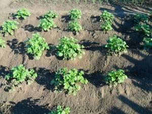 Окучивание картофеля мотоблоком: видео, описание