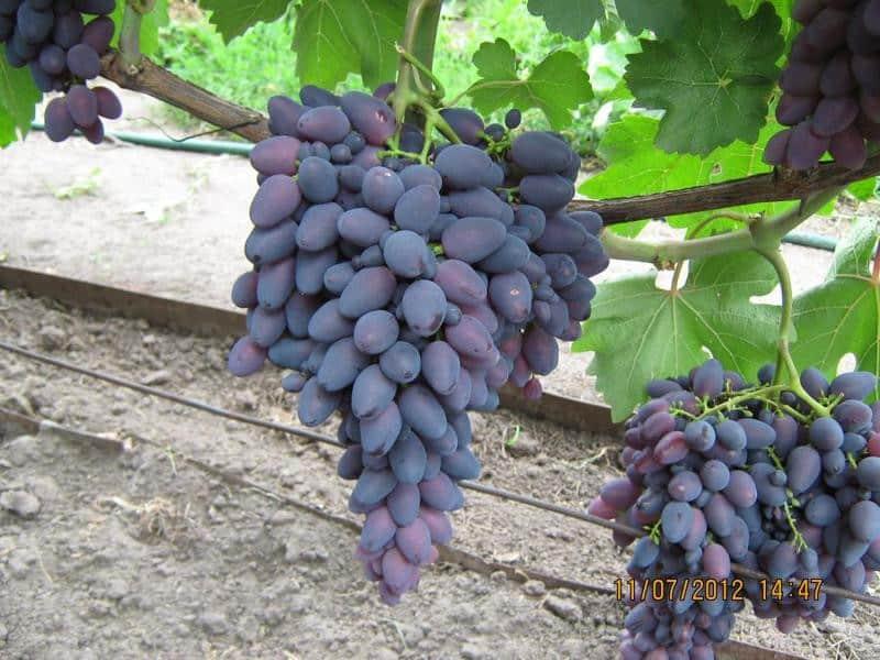 Виноград атос - уход и посадка, достоинства сорта атос