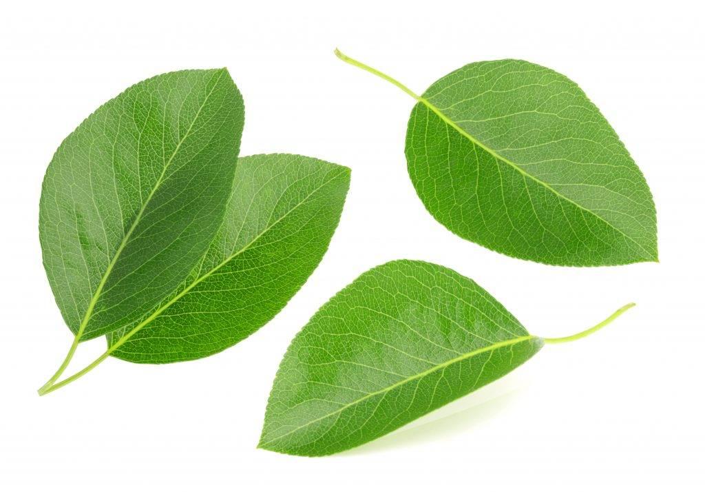 Как выглядят листья груши