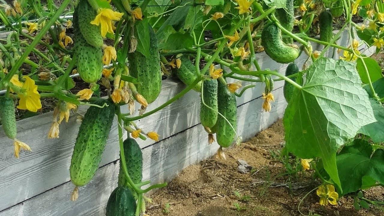 Чем подкормить огурцы в теплице для роста